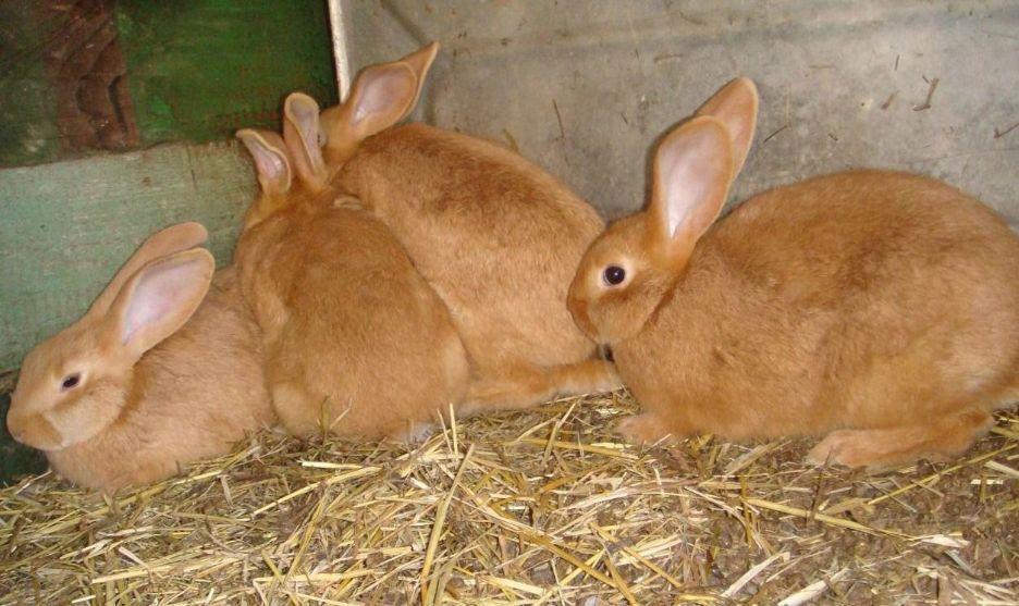 бургундские кроли