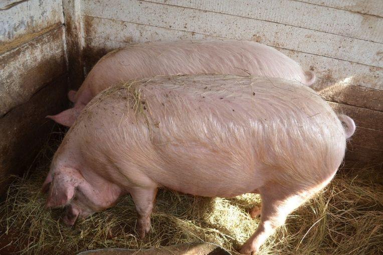 две свиньи едят