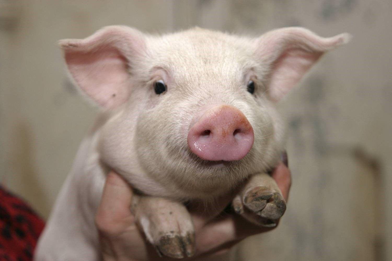свиня гібрид ф1