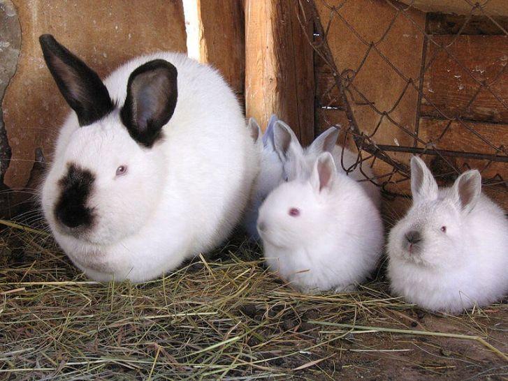 калифорнийские кроли
