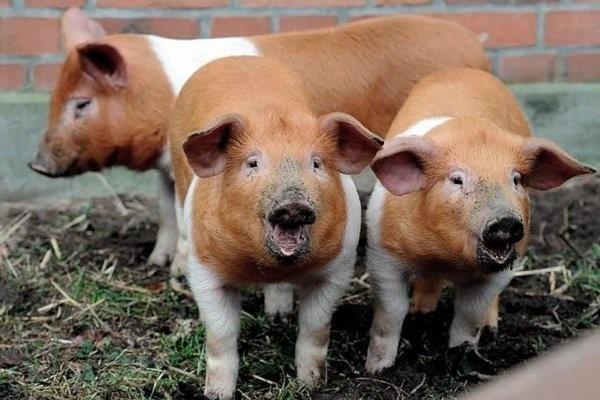 червона білопояса свиня