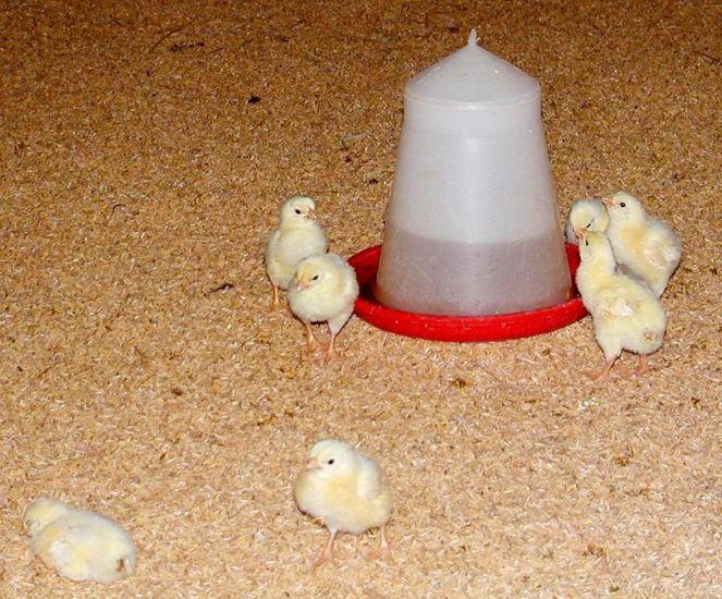 корм для цыплят