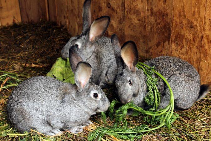 мясні породи кролів