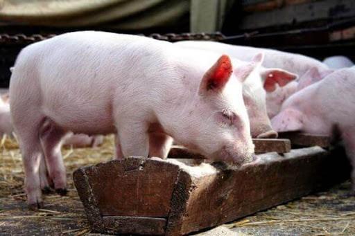 полтавська свиня
