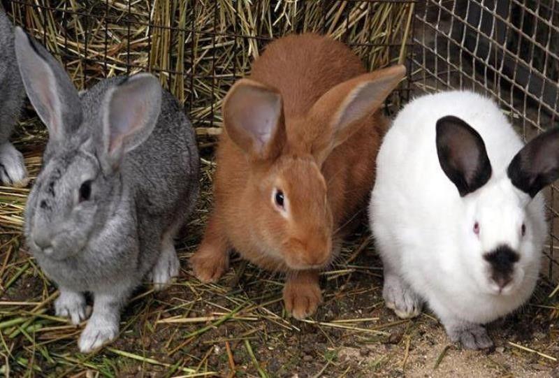 породи кролів