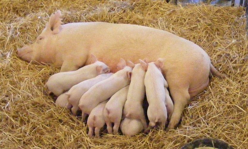 Поросята со свиноматкой кушают