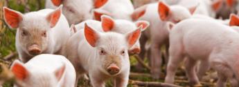 розведення свиней