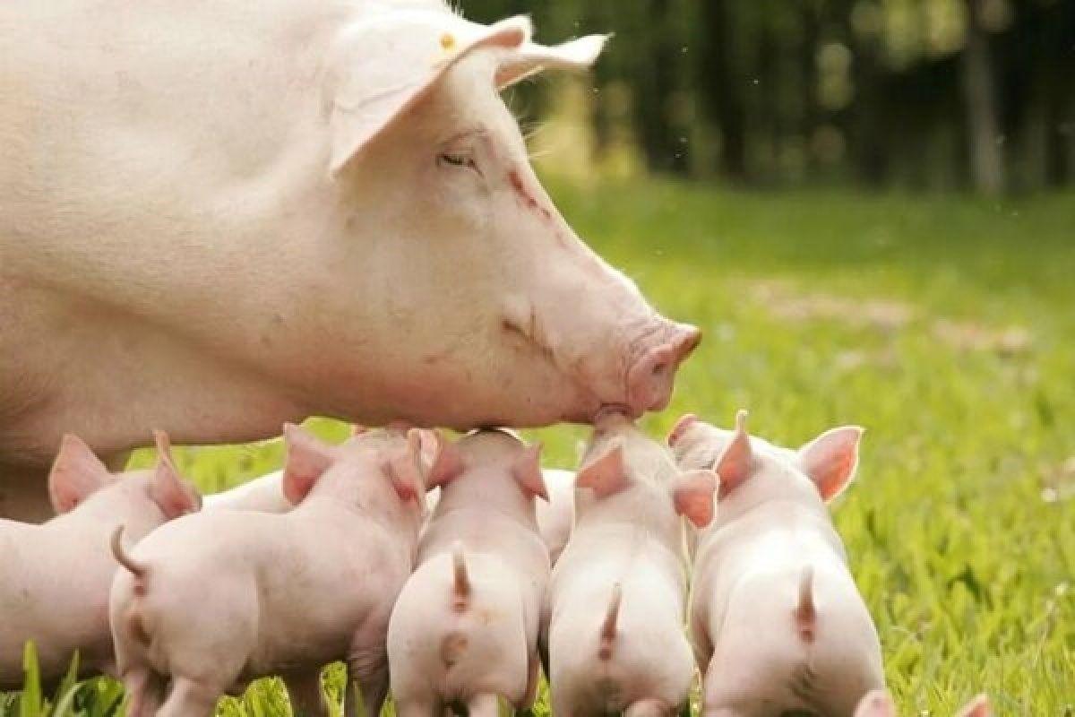 Стадо свиноматок