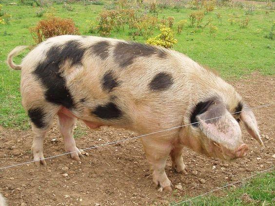 степова ряба свиня