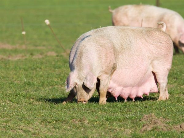 супоросна свиноматка