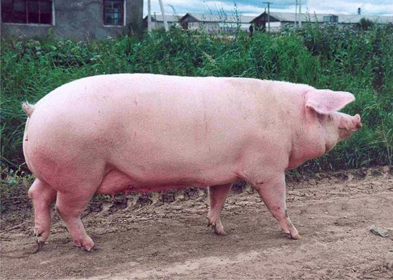 корм для свиней авамаркет