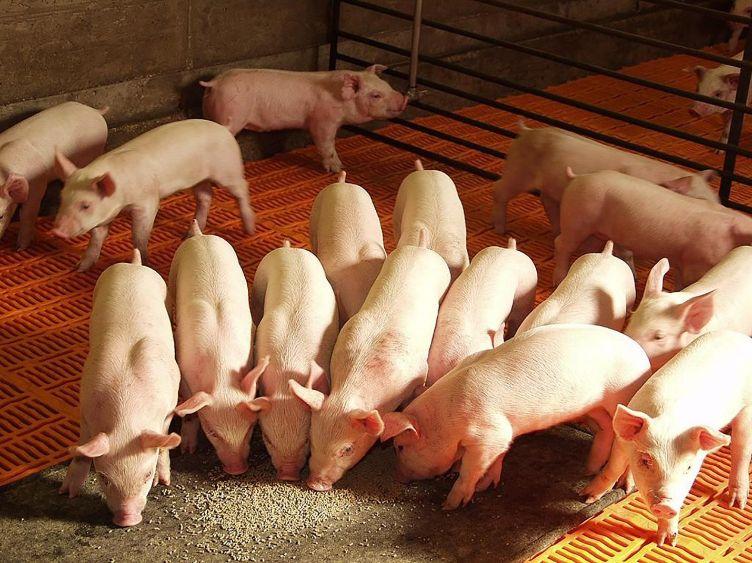 кормление свиней 2