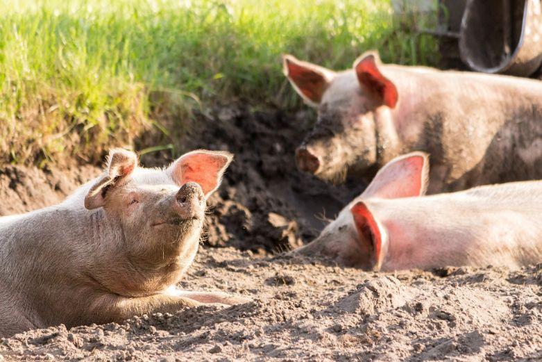 комбикорм для свинок