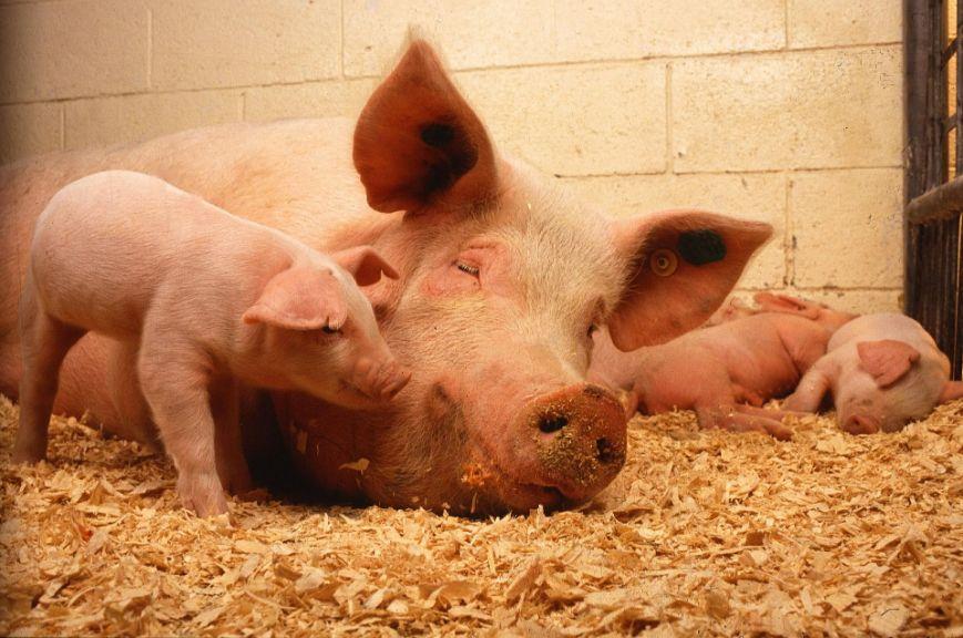 Харчування свиноматок
