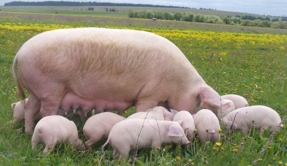 Велика біла свиня