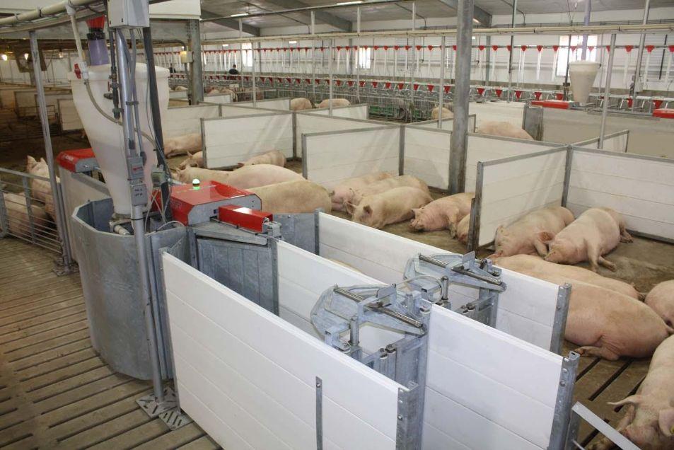 кормление свиней на свинофермах