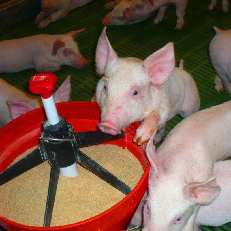 рацион поросят на свинофермах