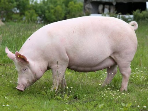 українська мясна свиня
