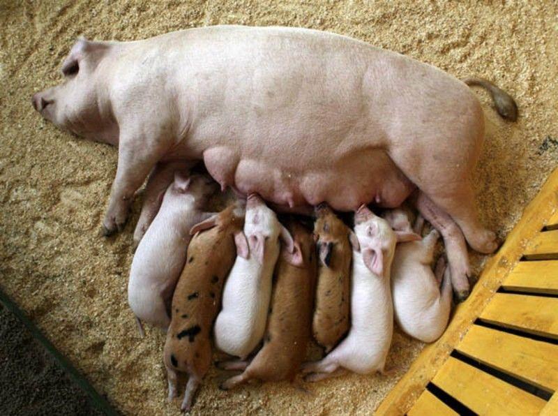 Замена свиноматок и оборот стада
